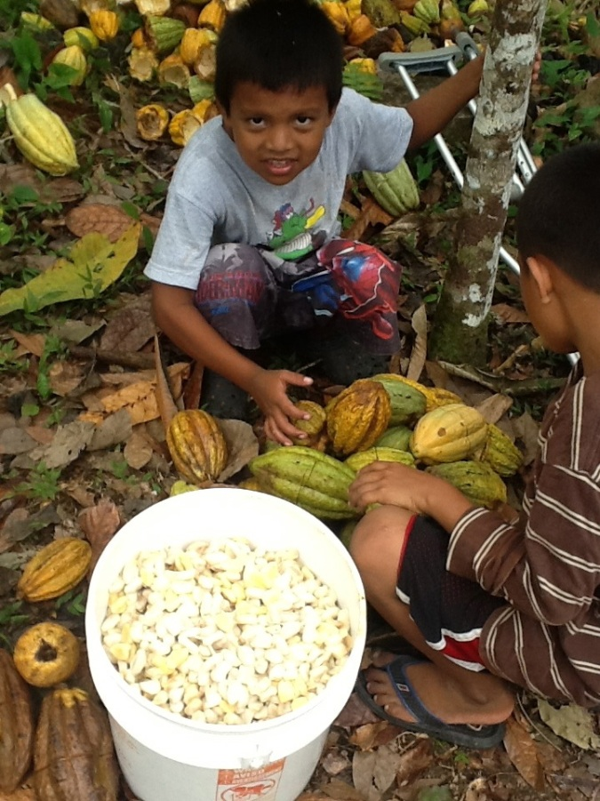 Grandsons with cacao pods and a bucket of slimy, lemony raw beans