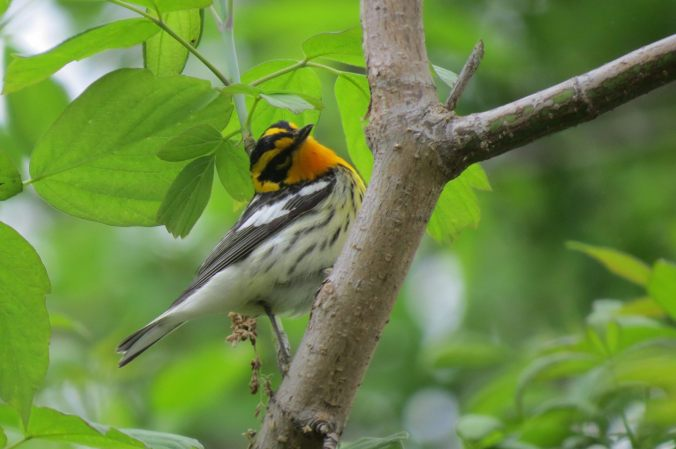 Blackburnian Warbler, not the one I saw. Photo by Herb Myers